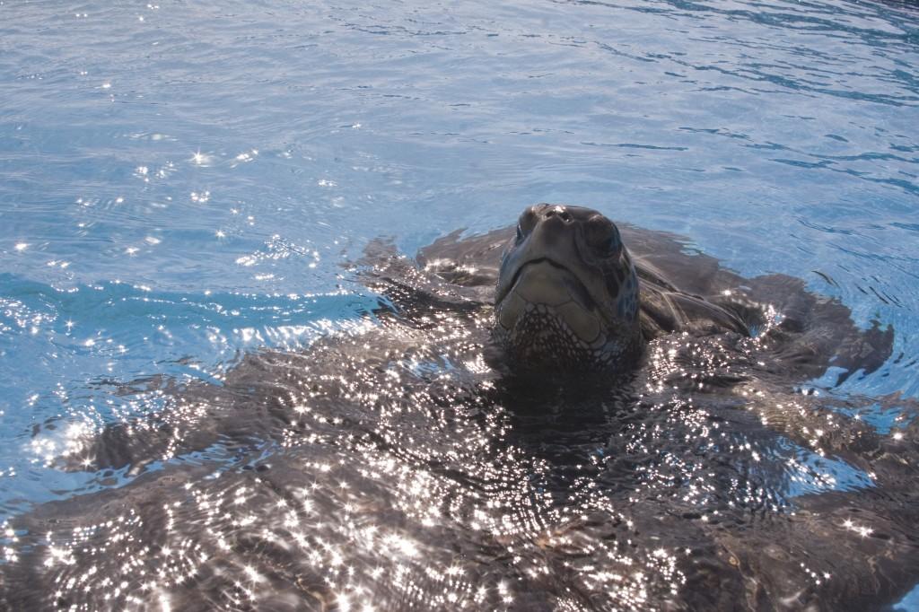 מחכים ליום בו יחזרו לנחל. צבי הים בחוות האצות