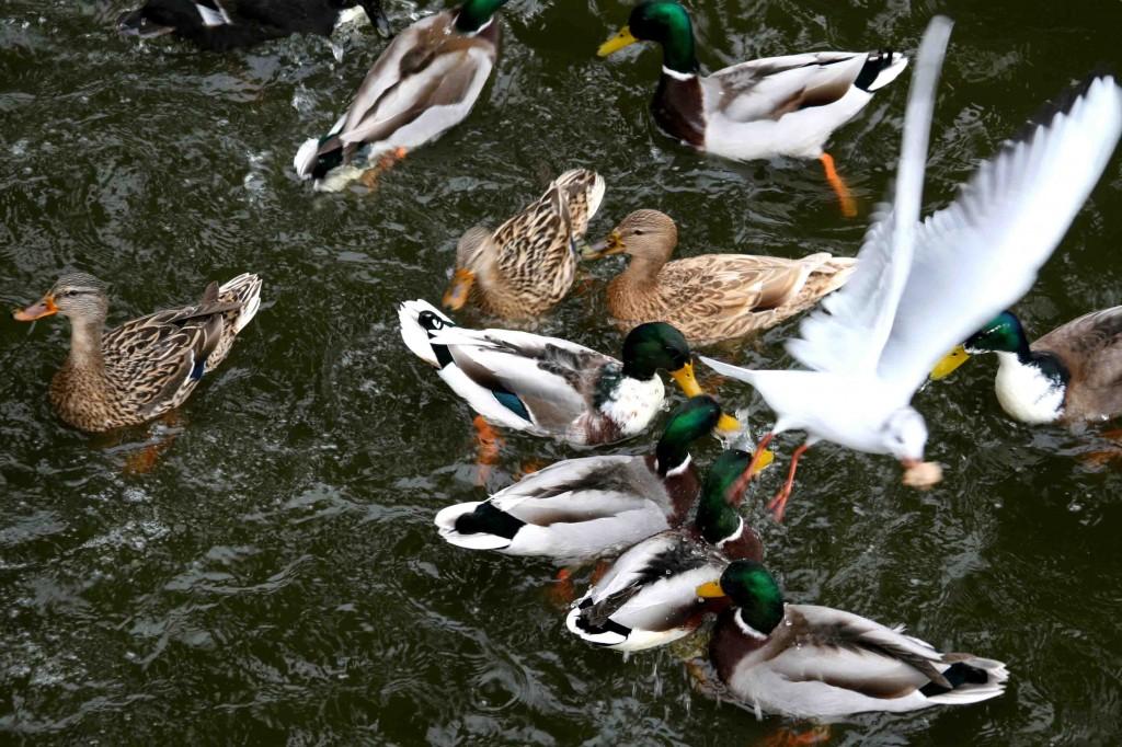 העיר בציפור. שחפיות וברווזים סועדים בדה קאס