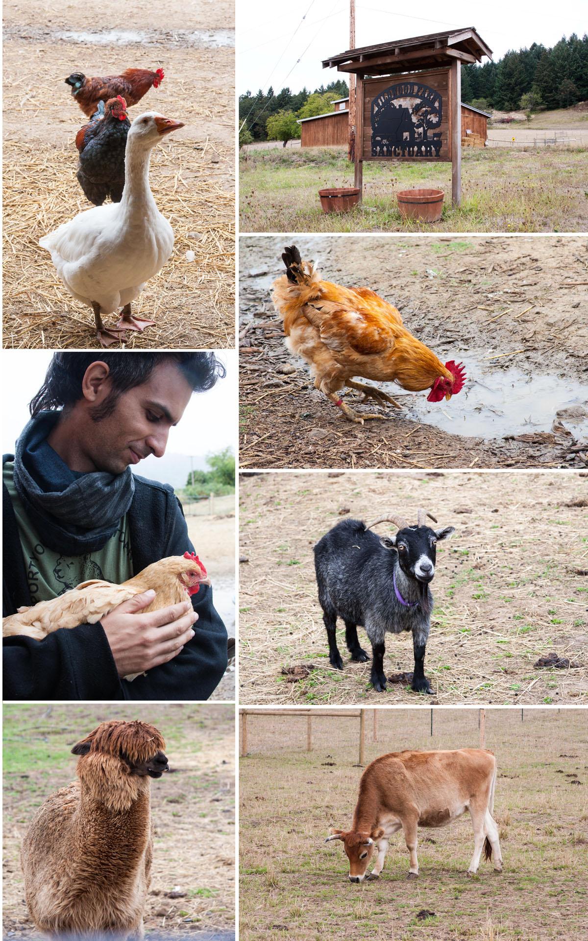 בעלי חיים חופשיים בחוות המקלט של שינה. מרגש